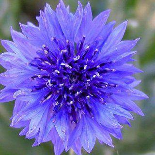 BACHELOR BUTTON FLOWER SEEDS   100 FRESH SEEDS CORNFLOWER
