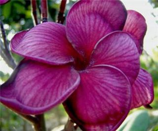 Plumeria RARE Seeds Indoor Bonsai Plant Tropical House Flower