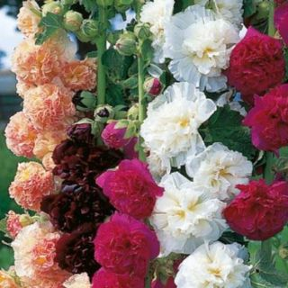 Hollyhock Chaters Double 50 Fresh Seeds