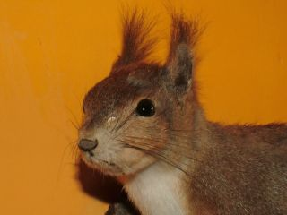 European Squirrel Mount Taxidermy