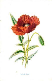Scarlet Poppy Flower 1897 Antique Original Print Hulme