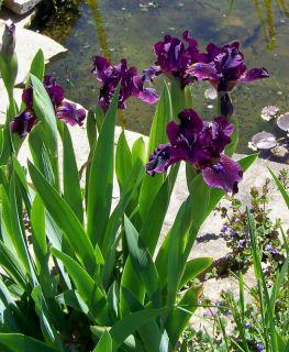 Live Plants Negra Modelo Dwarf Bearded Iris Dark Beauty