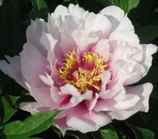 Itoh Peony Cora Louise Intersectional Paeonia 1 Bare root plant Ships