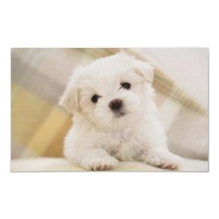 Maltese Puppy Posters