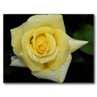 Hybrid Tea Rose Helmut Schmidt Roses Post Cards