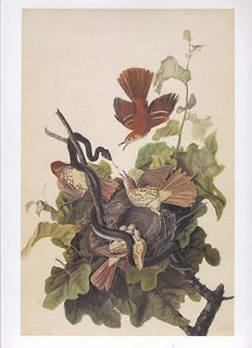 John James Audubon Bird Print Brown Thrasher Fighting Off Snake