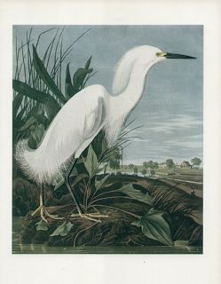 John James Audubon Authentic Vintage Print Made in 1939 Snowy Heron or Egret