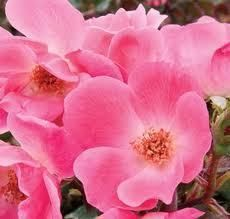 Pink Knock Out Rose Brightly Colored Hardy Rose