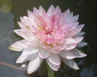 Tubers Jongkolnee Thai Water Lily Pond Plant Lotus