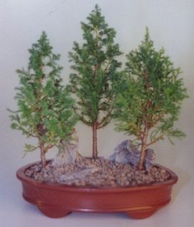 Eastern White Cedar Bonsai 3 Tree Group Outdoor