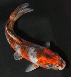 Goshiki Live Koi Pond Fish Koibay we combine shipping Live koi Blue