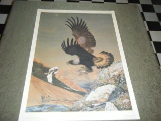Golden Eagle by Louis Agassiz Fuertes Original Prints N