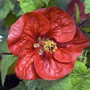 102 New Abutilon Lucky Lantern Series Plants Preorder