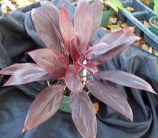 Cordyline Fantasia TI Plant Hawaiian Good Luck Plant
