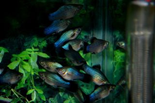 Tropical Fish Blue Wag Neon platys Adult Breeder Trio Nice