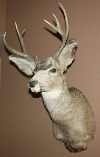 Mule Deer Buck Head Shoulder MountNice