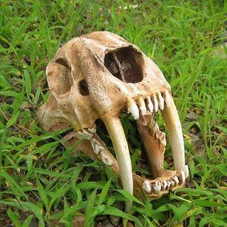 Hot 11 Predator Saber Tooth Tiger Skull Smilodon Model Fossil